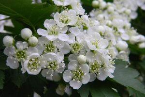Цветы боярышника для лечения кашля курильщика