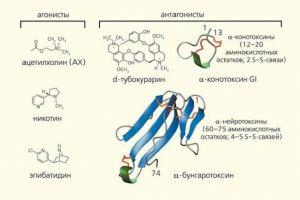 Никотин и его рецепторы